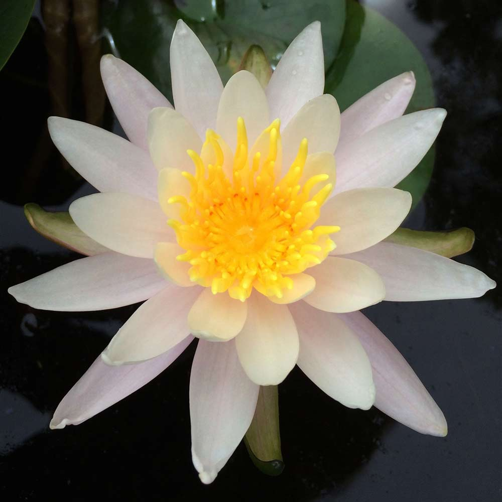 Virginalis hardy water lily lilies the pond guy virginalis hardy water lily izmirmasajfo