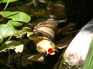 The Pond Guy Spring and Fall Floating Fish Food