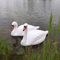 Floating Swan Decoy Pair