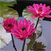 Plant Water Lily Antares