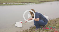 Floating Swan Decoy Pair Video