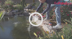 The Pond Guy(r) Chlorine Remover Video
