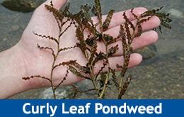 Curly Leaf Pondweed | Weed Id Guide | The Pond Guy
