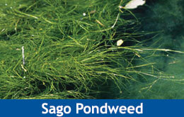Sago Pondweed | Weed Id Guide | The Pond Guy