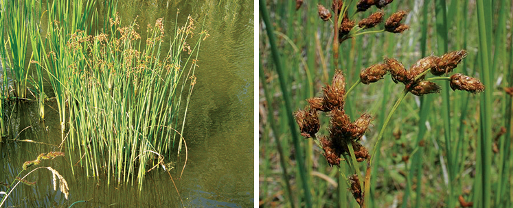 Bulrush Weed Id Guide The Pond Guy
