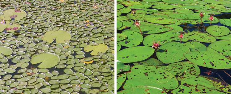 Water Shield | Weed Id Guide | The Pond Guy