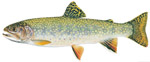 LIMITED EDITION PRINT EASTERN BROOK TROUT