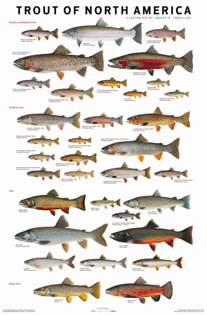 Trout of north america poster joe tomelleri artwork for Freshwater fish representative species