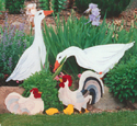 Geese, Hens, Chicks & Rooster Patterns