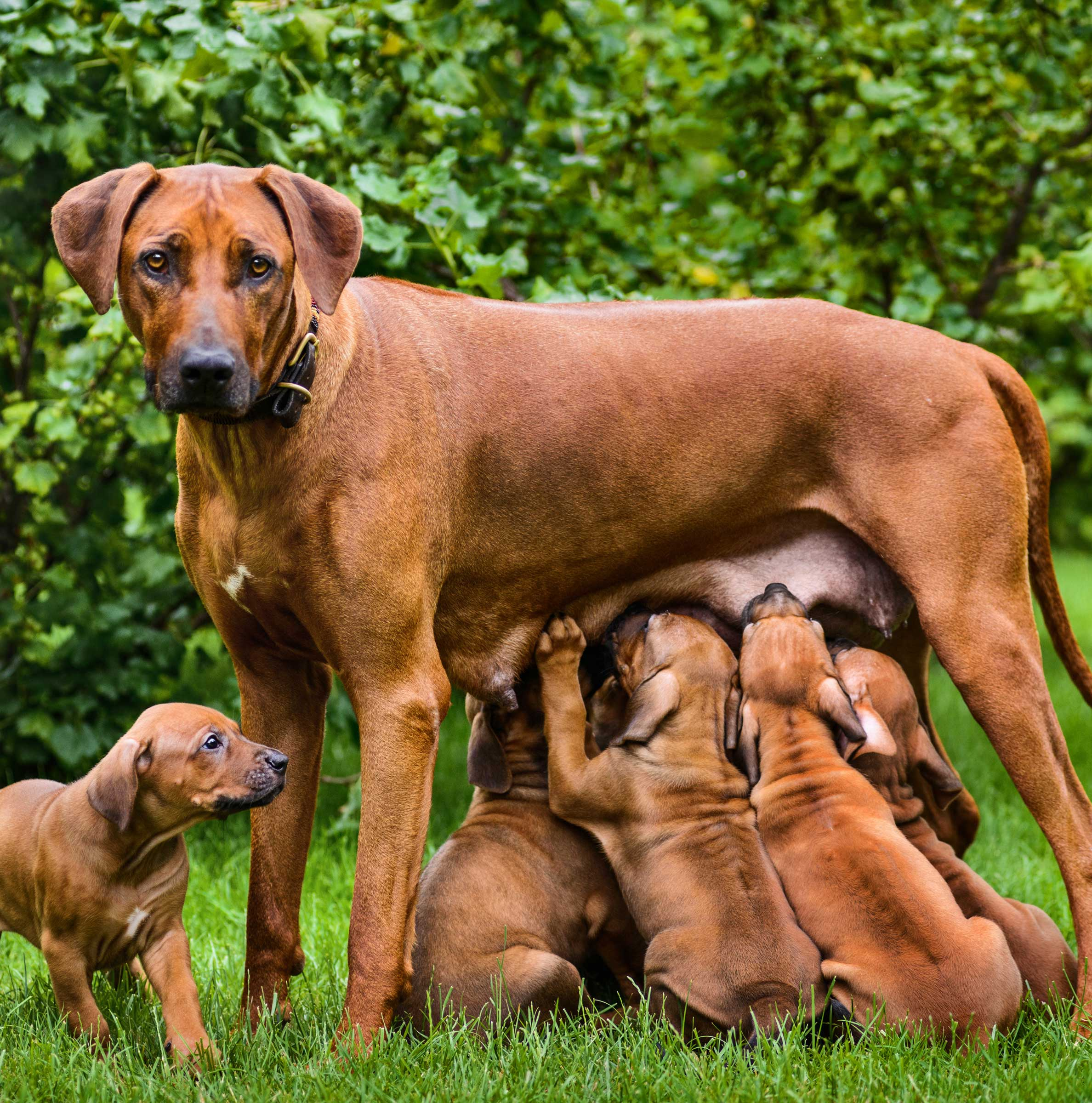 Promoting Health from Breeding to Pregnancy, Whelping to Lactation