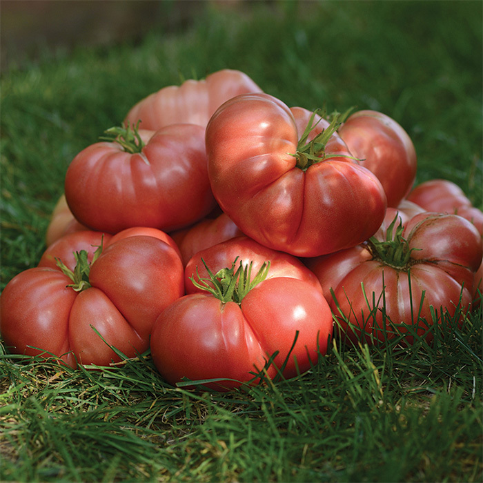 Heirloom Marriage Big Brandy Hybrid Tomato