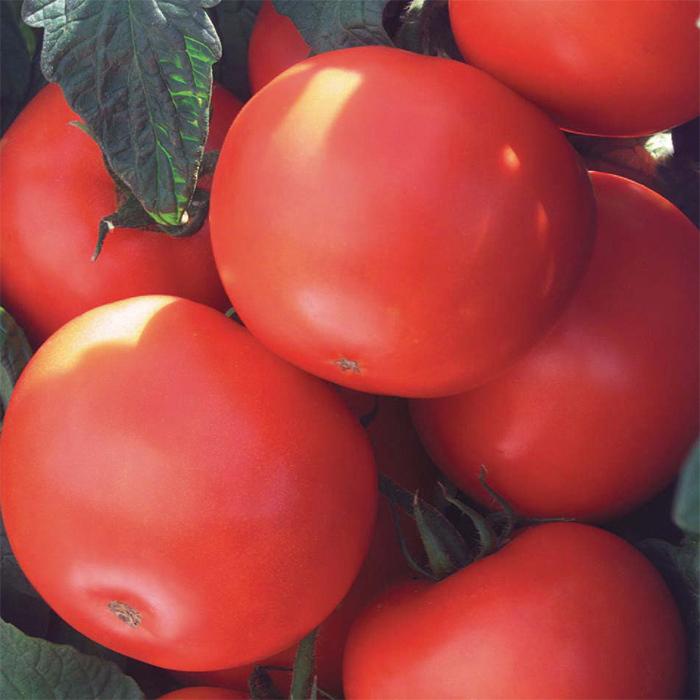 Biltmore Hybrid Tomato