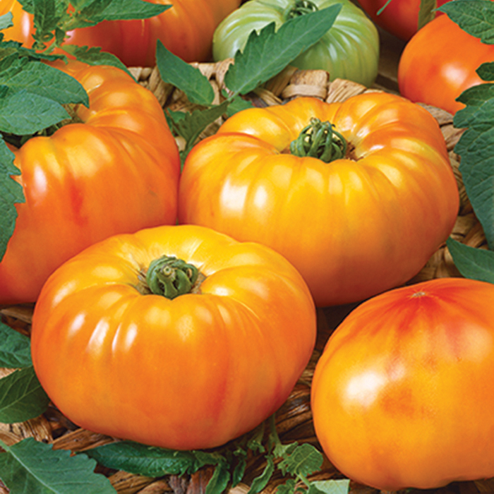 Chef's Choice Bicolor Hybrid Tomato