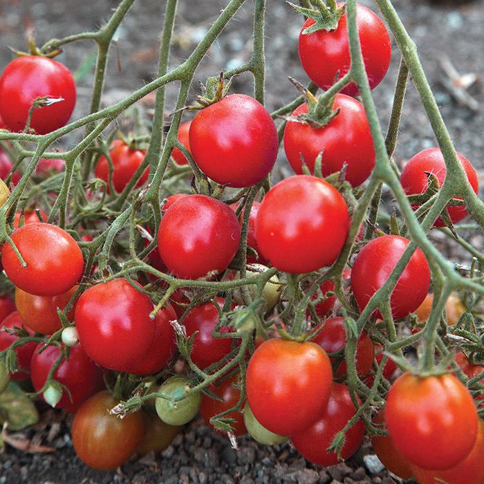 Centiflor Red Tomato