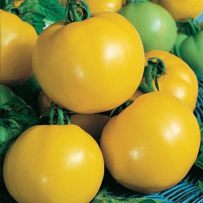 Dixie Golden Giant Tomato