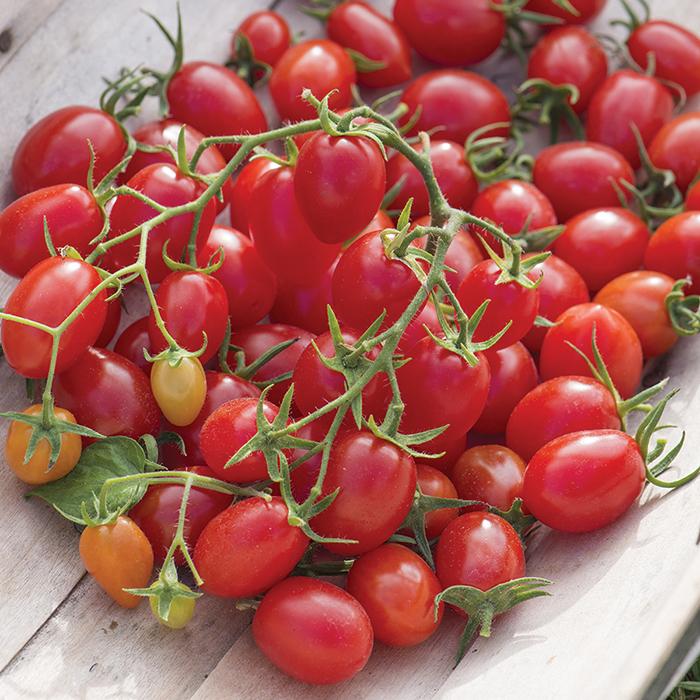 Fantastico Hybrid Tomato