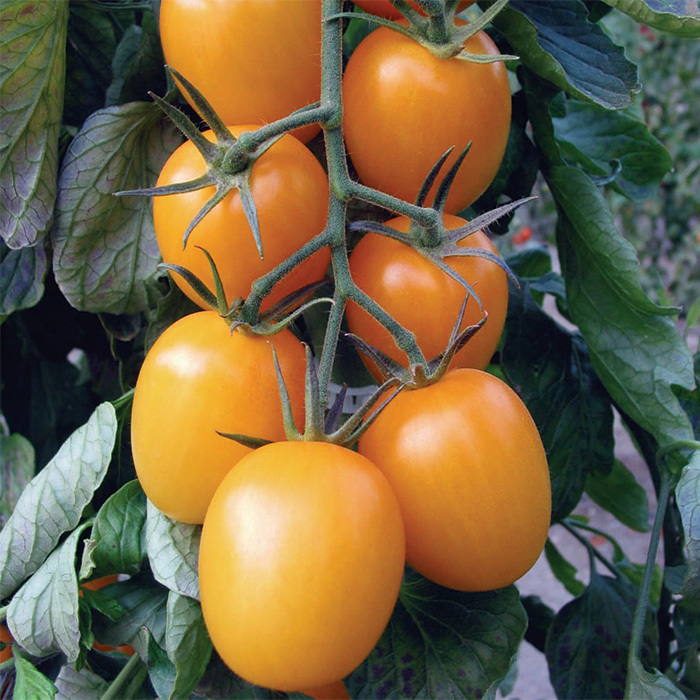 Golden Rave Hybrid Tomato