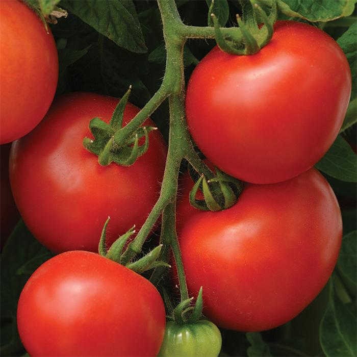 Homeslice Hybrid Tomato