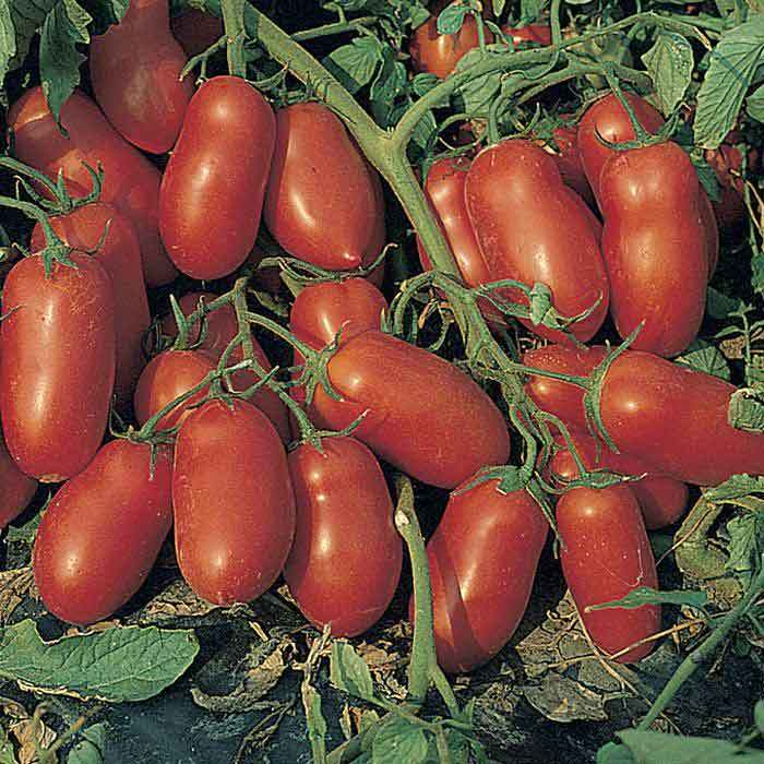 Incas Hybrid Tomato