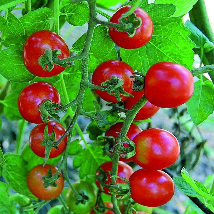 Mexico Midget Tomato