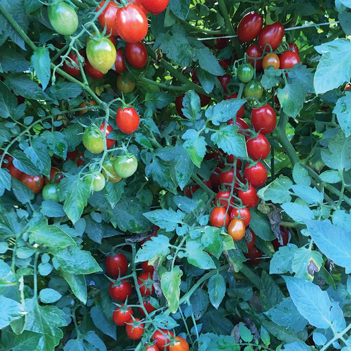 Mountain Vineyard Hybrid Tomato