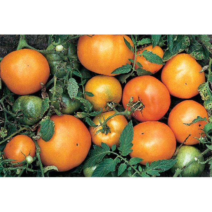Persimmon Orange Tomato