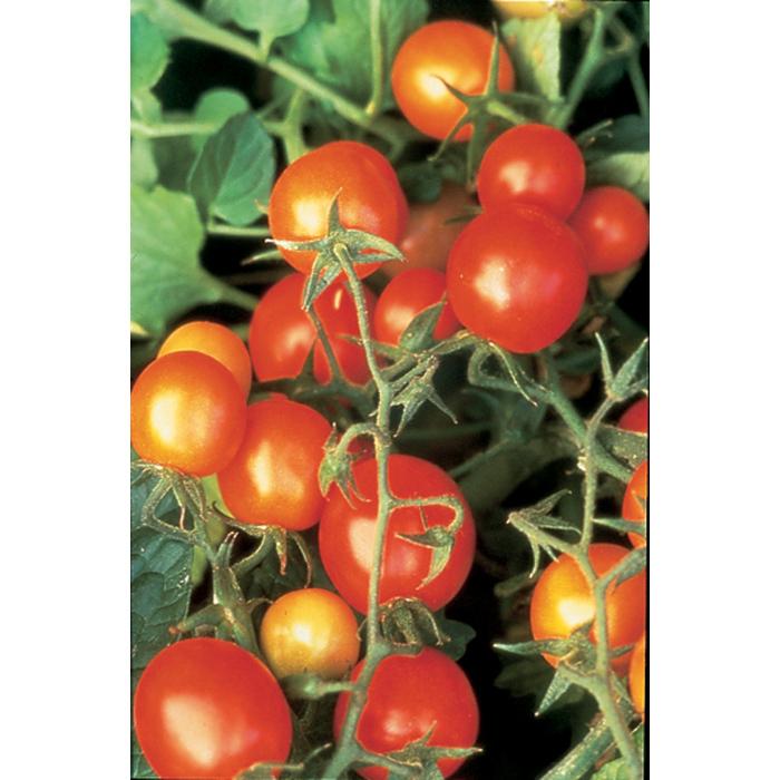 Sub Arctic Plenty Tomato