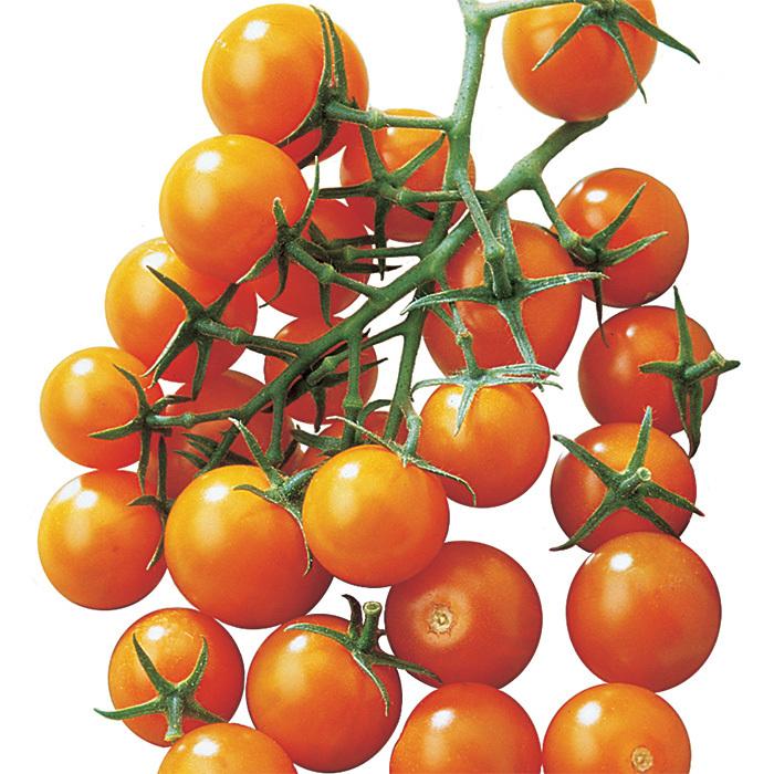 Sunsugar Hybrid Tomato