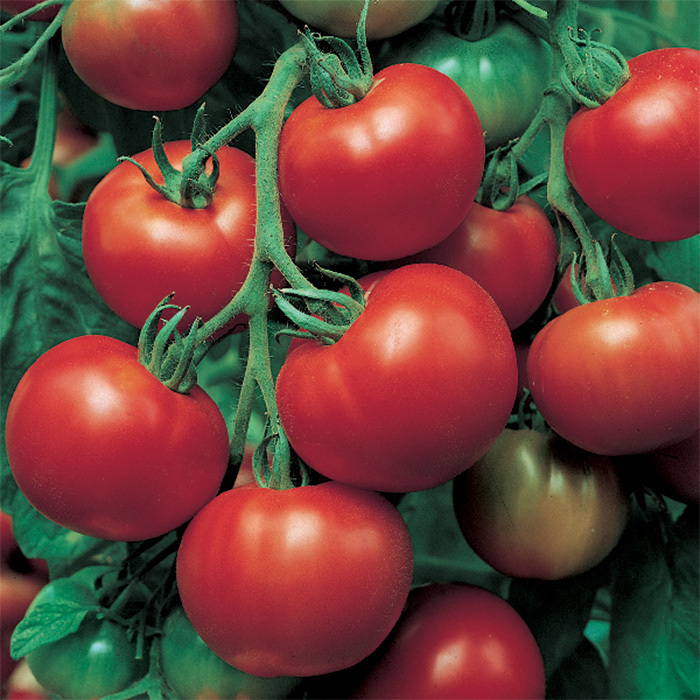 Super Sioux Tomato