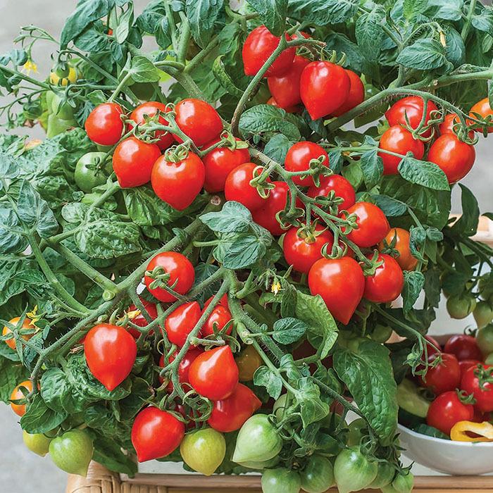 Sweet Valentines Hybrid Tomato