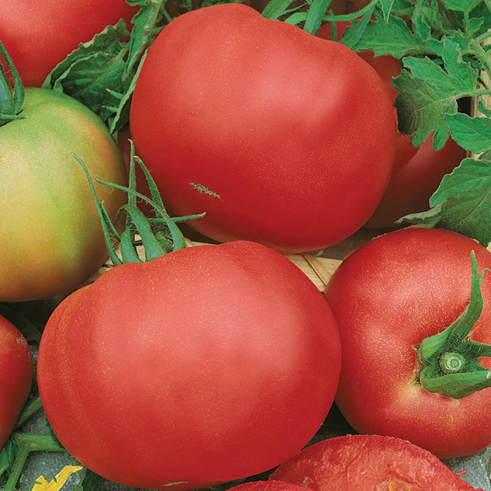 Tasty Pink Beefsteak Tomato