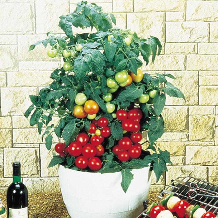 Totem Hybrid Tomato