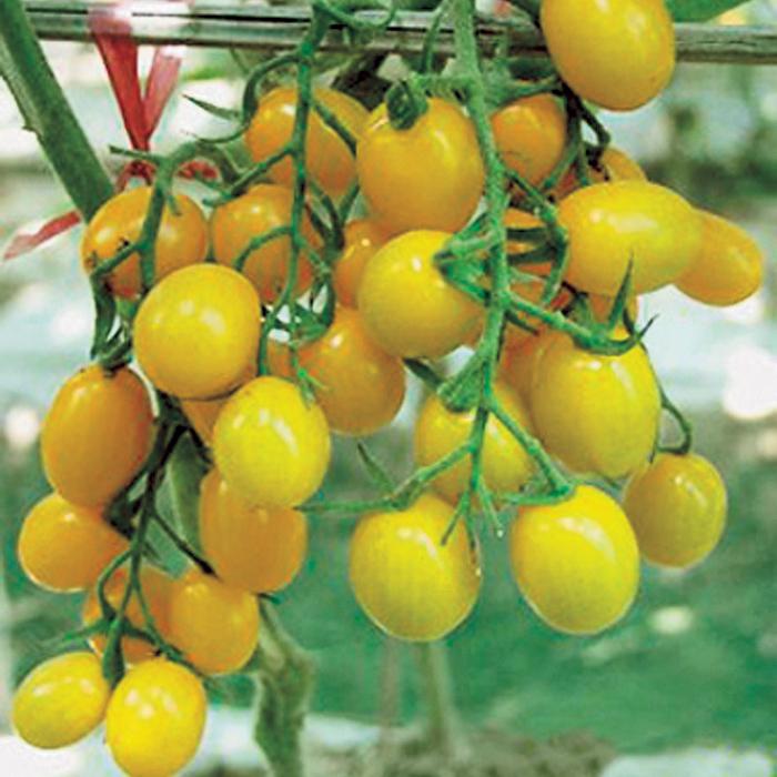 Jelly Bean Yellow Hybrid Tomato