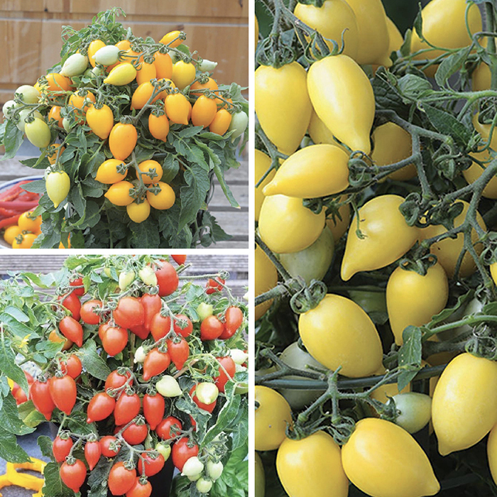 Funnyplums Hybrid Tomato Collection
