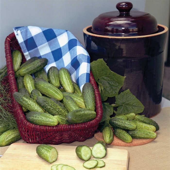 Alibi Hybrid Cucumber