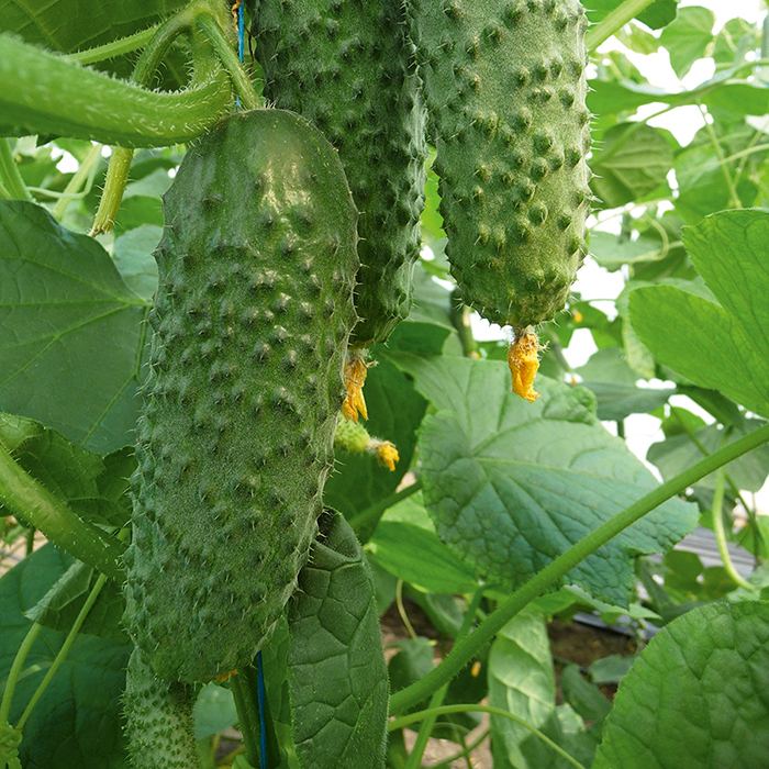 Artist Hybrid Cucumber