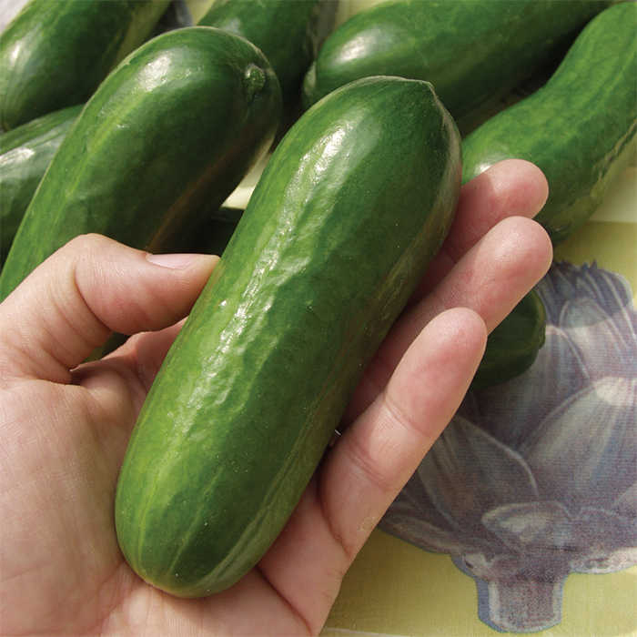 Iznik Hybrid Cucumber