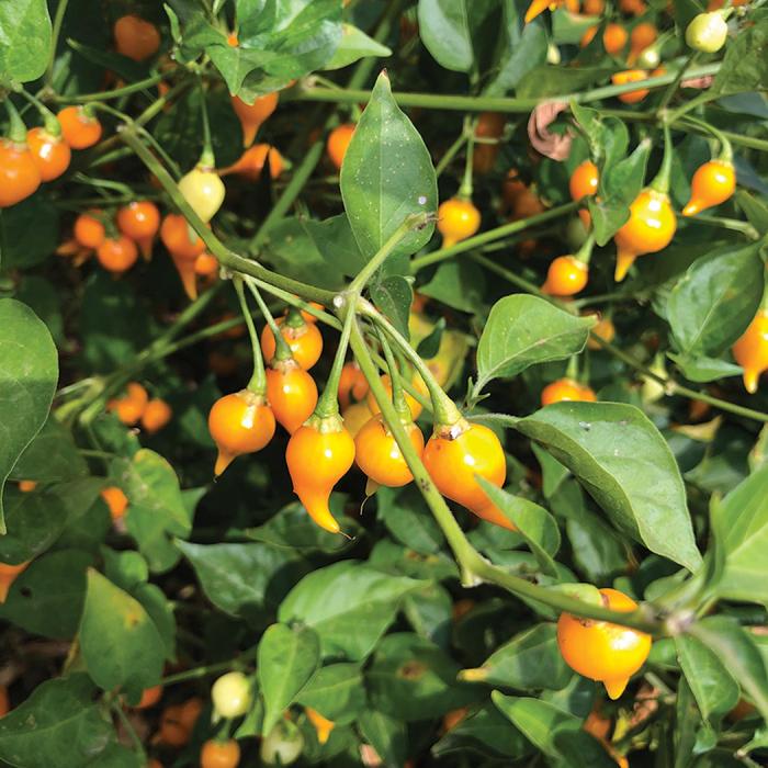 Yellow Biquinho Pepper