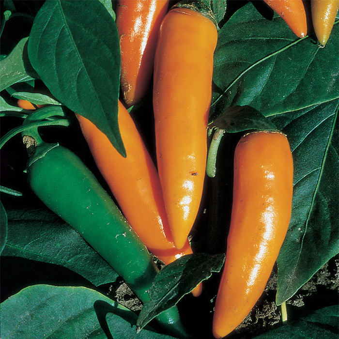 Bulgarian Carrot Pepper