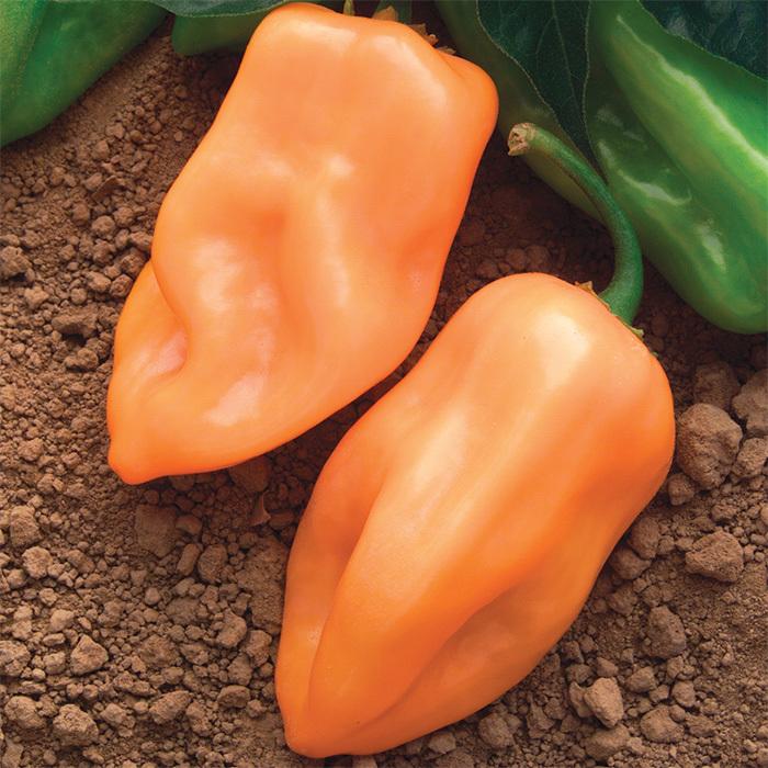Burning Bush Hybrid Pepper