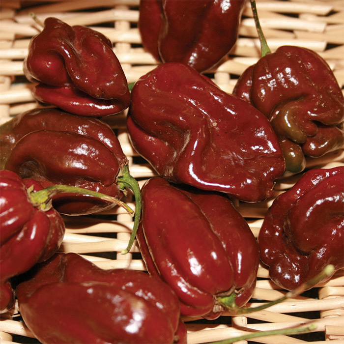 Chocolate Habanero Pepper