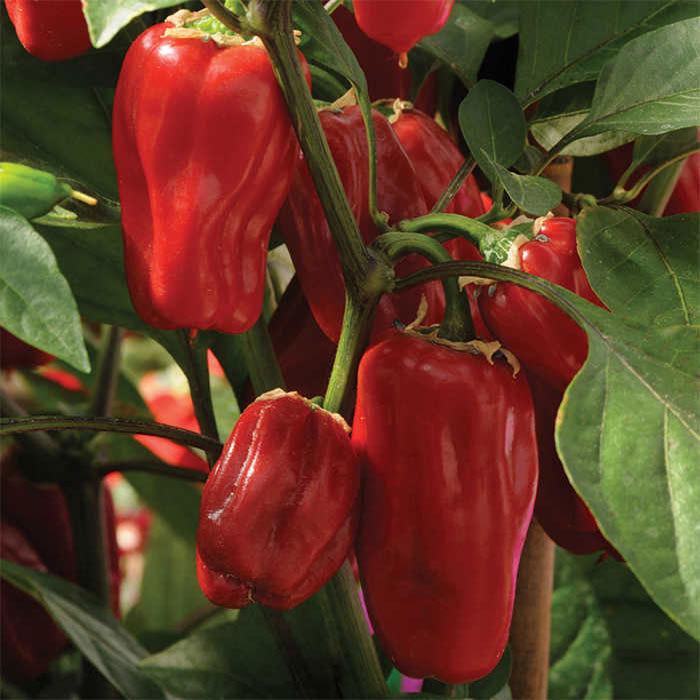 Sweet Heat Hybrid Pepper