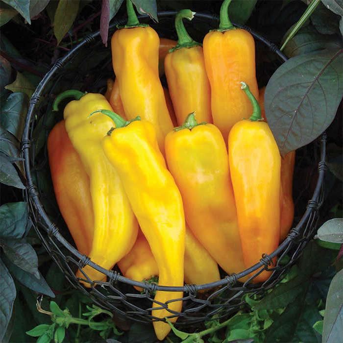 Mama Mia Giallo Hybrid Pepper