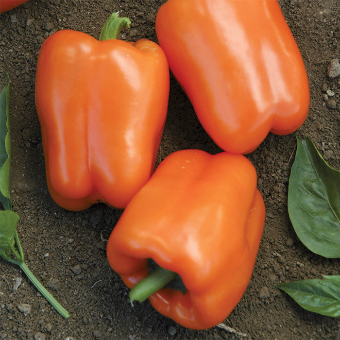 Orange Blaze Hybrid Pepper