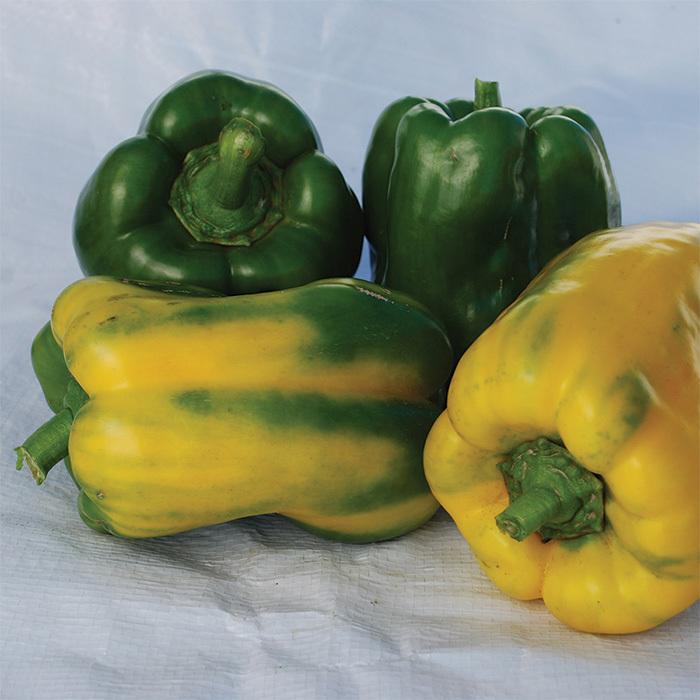 Yellow Monster Pepper