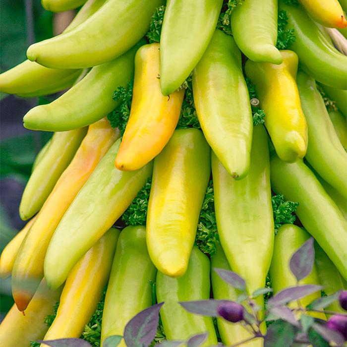 Mexican Sunrise Hybrid Pepper
