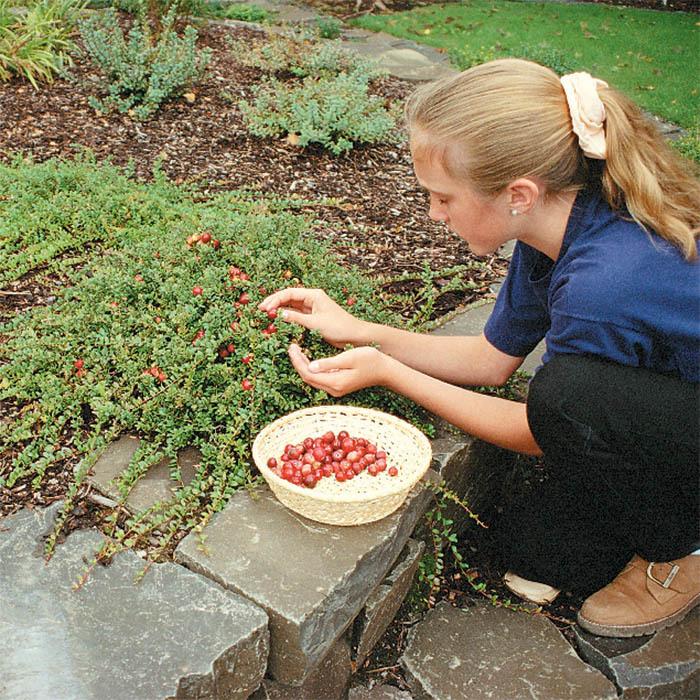 Pilgrim Cranberry Plants