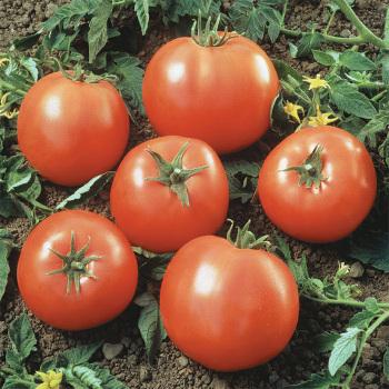 Prime Beef Goliath Hybrid Tomato