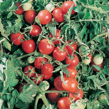Amish Salad - Subbing Umberto Pear tomato