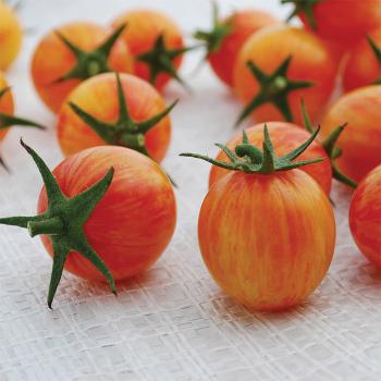 Artisan Bumble Bee Sunrise Tomato